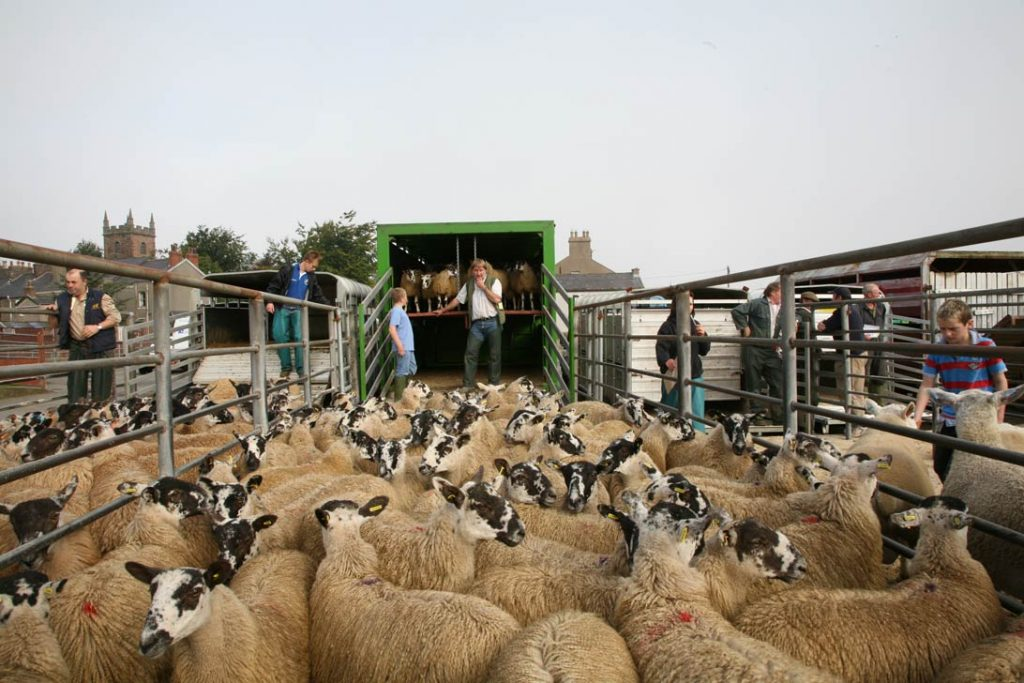 Hopes Auctions, Livestock, Sheep, Wigton